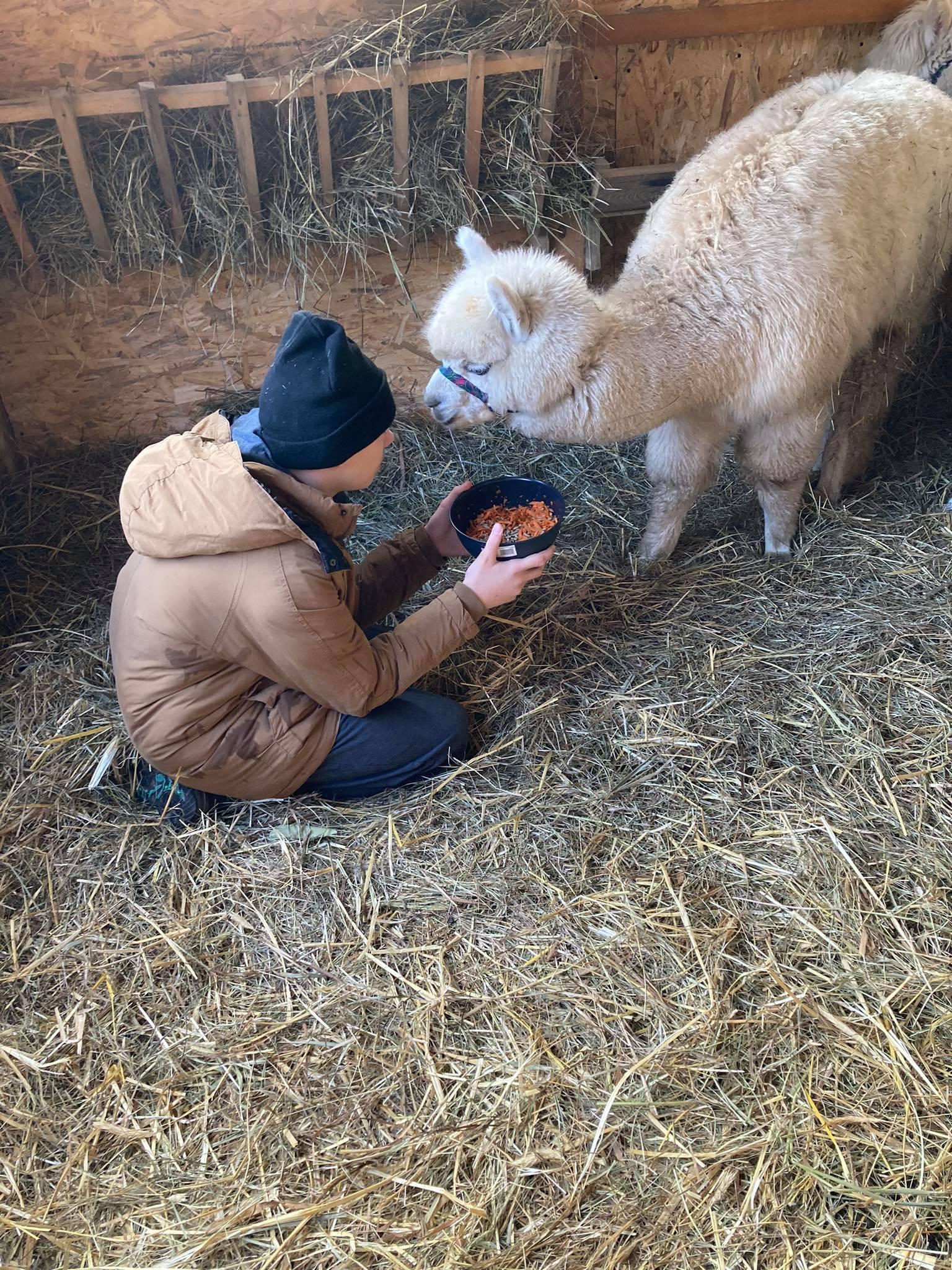 Uczeń karmi alpakę, startą marchewką z domieszką odpowiedniej paszy
