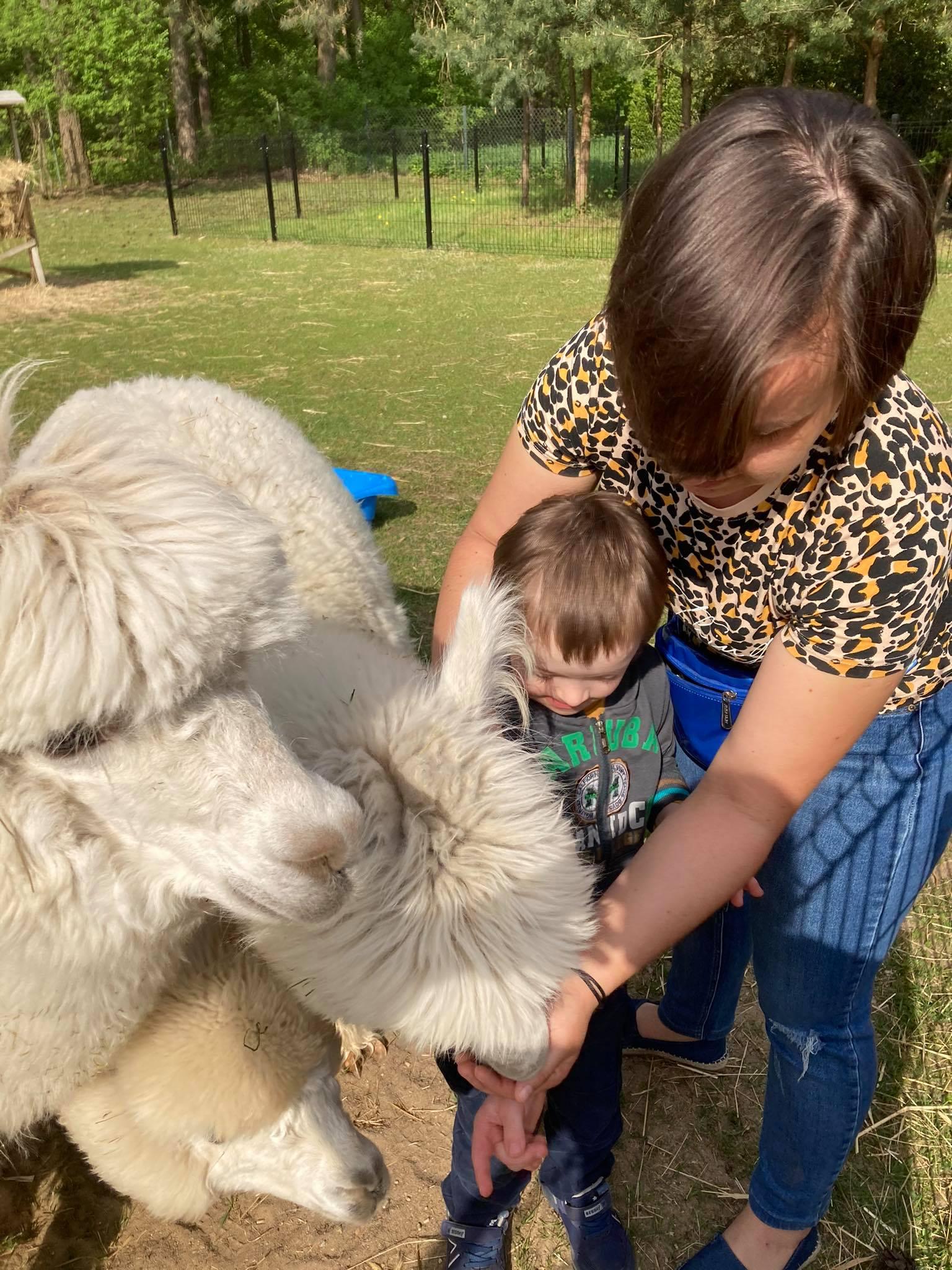 Podawanie alpakom smakołyków z ręki dziecka