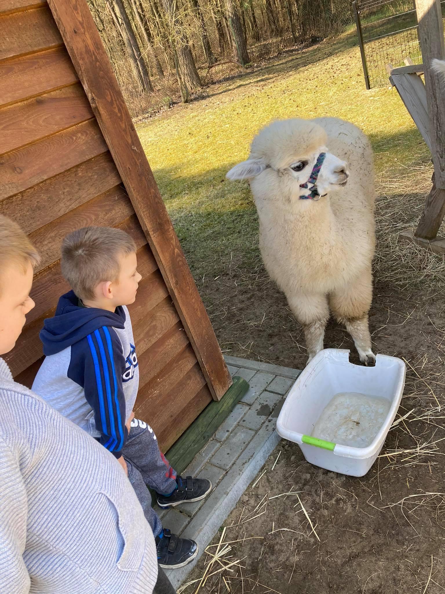 Alpaka i uczeń, dokarmianie alpaki
